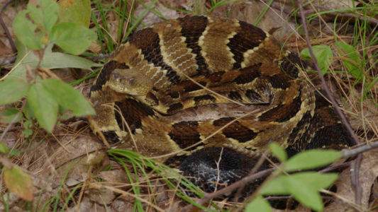 Recently fed timber rattlesnake