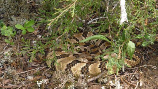 Timber rattlesnake resting