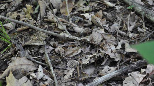 Timber rattlesnake camouflage