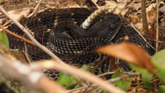 Black timber rattlesnake