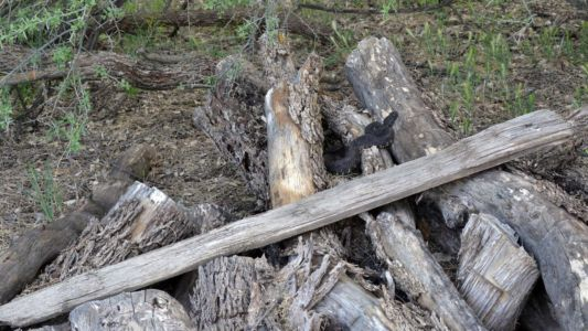 Arizona black rattlesnake hunting on a woodpile